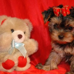Jet Set Club's Vivien Leigh (ВИВА) – собака питомника.